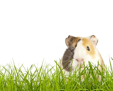 brown guinea pig in the grass photo