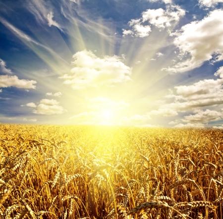 cosecha de trigo: campo de hierba. prado de trigo bajo el cielo