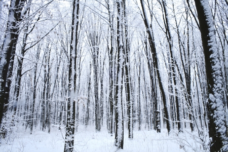 frigid: forest trees. nature snow wood background Stock Photo