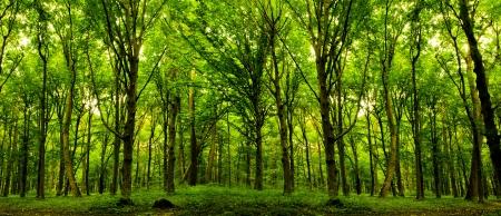 árboles forestales. naturaleza, verde, fondo de madera luz solar. Foto de archivo