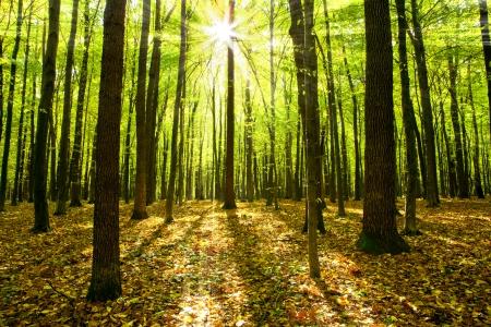 nature green: ?rboles oto?ales del bosque. naturaleza, verde, fondo de madera luz solar. Foto de archivo
