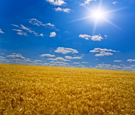 cornfield: field of grass. meadow wheat under sky