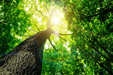 森の木。自然の緑の木日光の背景。