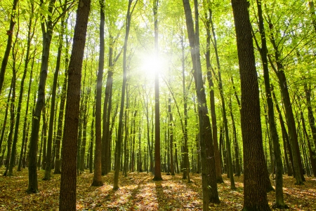 秋の森の木々。自然の緑の木日光の背景。