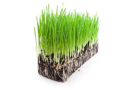 sprouts of green wheat grass on white background photo