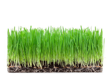 wheat grass: sprouts of green wheat grass on white background