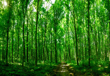 trailway: panorama forest trees. nature green wood sunlight backgrounds.