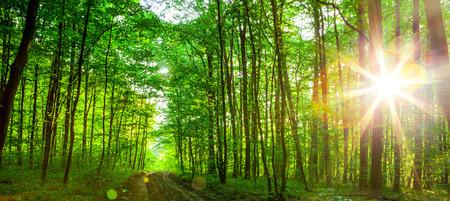 森の木。自然の緑の木日光の背景。空