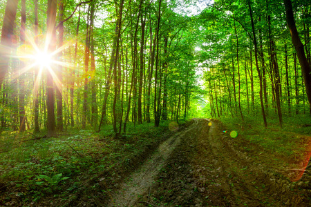 trailway: forest trees. nature green wood sunlight backgrounds. sky