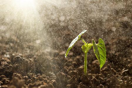 Green plántulas que crecen en el suelo bajo la lluvia Foto de archivo