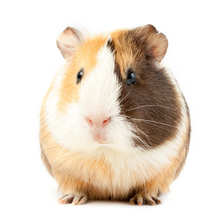 pig nose: brown guinea pig on white isolated