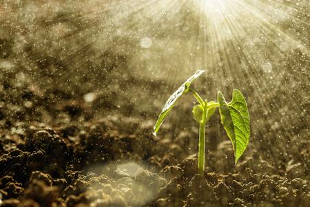conservacion del agua: Green pl�ntulas que crecen en el suelo bajo la lluvia Foto de archivo