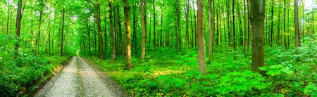 숲 나무입니다. 자연 녹색 나무 햇빛 배경입니다. 파노라마