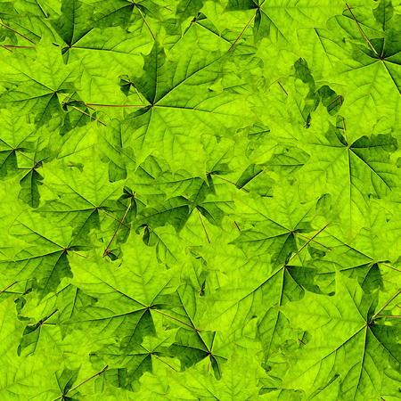 hojas parra: hermoso fondo de arce hojas verdes para la publicidad Foto de archivo