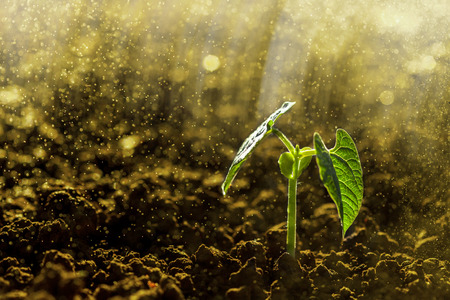 and the rain: Green seedling growing on the ground in the rain Stock Photo