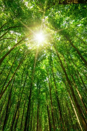 nature green: �rboles forestales en la naturaleza verde con la luz del sol de fondo Foto de archivo