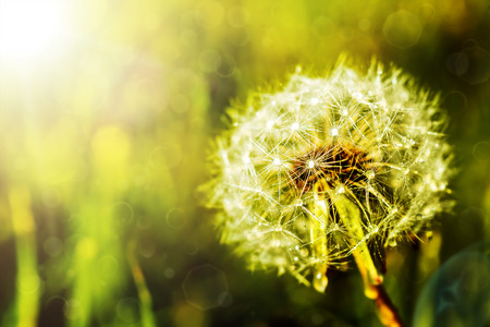 beauty: dandelion on a green background Stock Photo