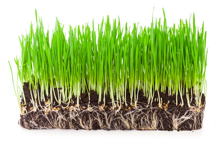 grass roots: sprouts of green wheat grass on white background
