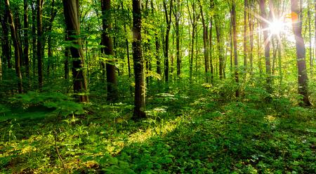 iluminado a contraluz: árboles forestales. naturaleza madera verde luz del sol fondos. cielo
