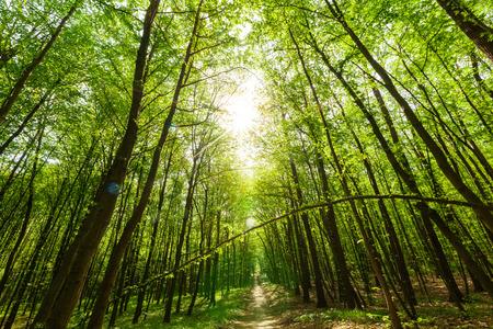 Waldbäumen. Natur grünen Wald Sonnenlicht Bildhintergrund. Himmel Standard-Bild - 44148493