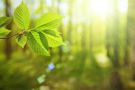 sol radiante: hoja de los árboles del bosque. La madera verde de la naturaleza Luz del sol. primavera verano