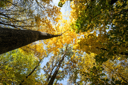 forest trees: autumn forest trees. nature green wood sunlight backgrounds. .