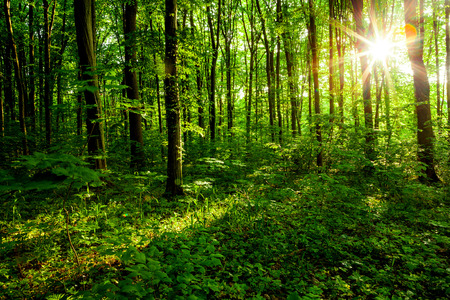 숲 나무입니다. 자연 녹색 나무, 햇빛 배경입니다.