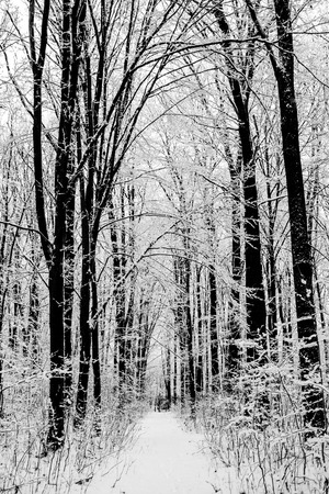 snow forest: forest trees. nature snow wood backgrounds. winter Stock Photo