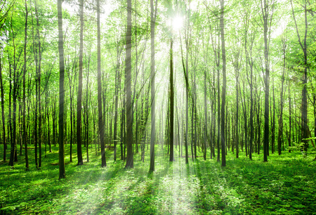 nature green: forest trees. nature green wood sunlight backgrounds. sky
