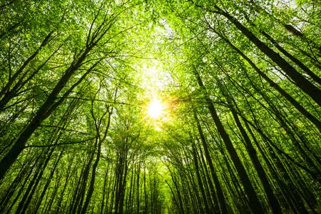 leuchtend: Frühlingswaldbäumen. Natur grünen Wald Sonnenlicht Bildhintergrund. Himmel