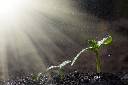 緑の苗が地上では雨の中で成長しています。