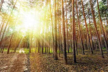 trees forest: pine forest trees. nature green wood sunlight backgrounds