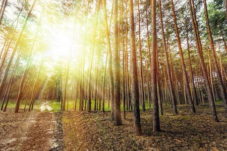 árboles de bosque de pinos. La madera verde de la naturaleza Luz del sol