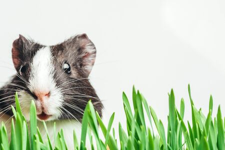 Brown guinea pig peeps out from the herbs. Place on a white background for advertising