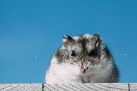 hamster looking at the camera on a blue background