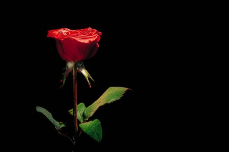 red rose on a black background under water