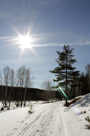 lone pine: Winter path that goes into the woods. Also there is a lone pine tree and sun glare. Stock Photo