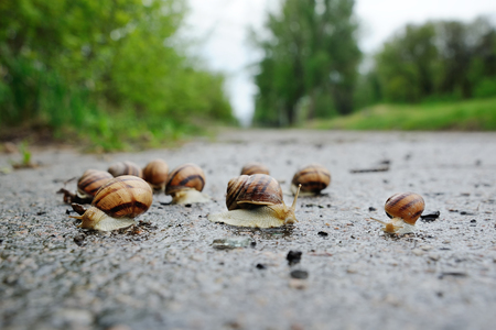 a lot of snails after the rain on the asphalt on a background of trees Stock Photo