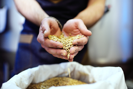 aftertaste: Light beer malt close-up in male hands. Brewing Stock Photo