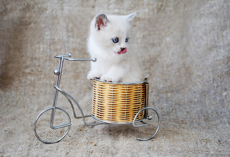 Kitten on a bicycle on a background of burlap