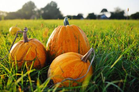 three ripe pumpkins on a background of a vegetable garden, grass and the sun Standard-Bild - 109609960