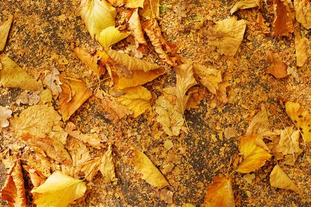 background texture - autumn dry withered yellow leaves closeup. Copy space, autumn concept.