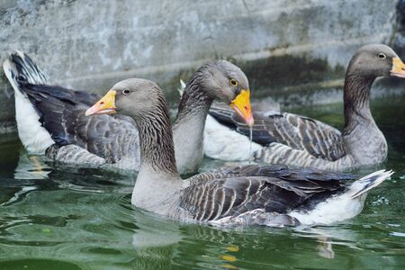 domestic grey geese bathe in the pool water on a poultry farm close up