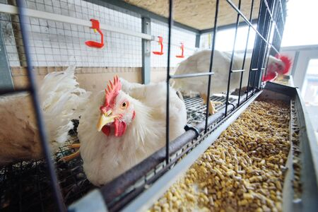 Poultry farm, raising broiler chickens. Adult chickens sit in cages and eat compound feed Zdjęcie Seryjne
