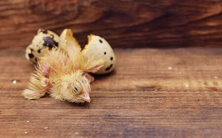 a newborn baby bird or quail chick hatches from an egg close-up on a wooden background. Poultry farm, quail breeding.Copy space