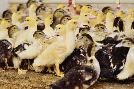 a group of young musk duck ducklings on the background of a poultry farm.