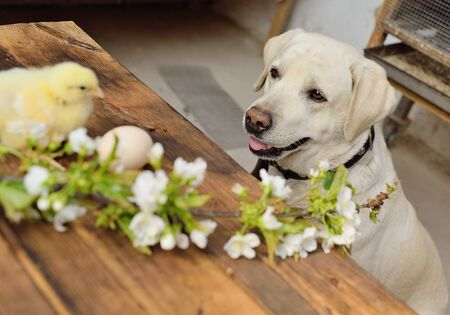 a Labrador dog watches two small chickens on a wooden table against the background of a twig with spring cherry blossoms. The concept of spring, new life, Easter