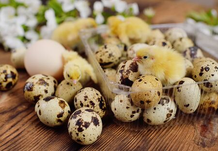 close-up of small yellow chickens or quail Chicks in plastic packaging with quail eggs against a background of white spring blooms. Concept spring, Easter, poultry farm, new life Standard-Bild