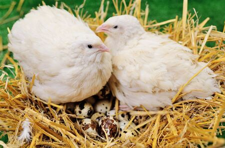 two white adult quails sit on a nest with quail eggs close-up on a green background. Quail breeding, poultry farm.