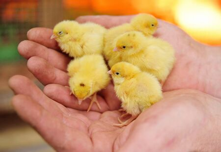 small yellow cute day-old Chicks close-up in male hands. The concept of new life